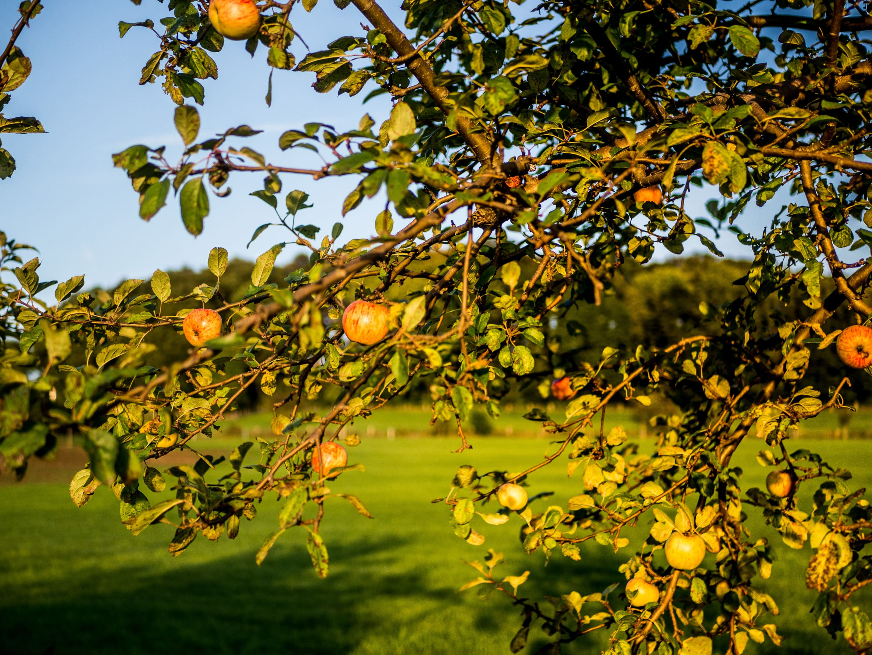 Apfelbaum in Abendsonne